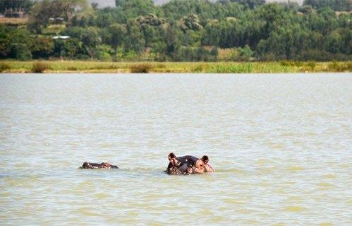 Hipopótamos en el lago Tana