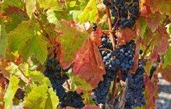 Uvas en el Jardín de Baco