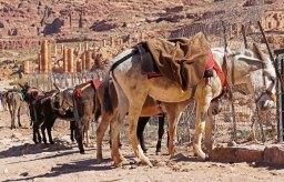 Burros en Petra