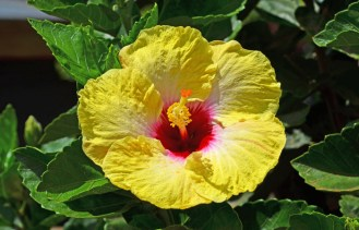 Flor del Pacífico Sur
