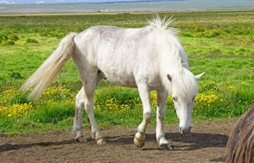 Un caballo de raza protegida