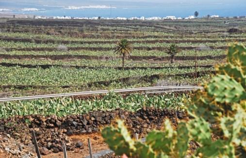 Campos de chumberas para la producción de cochinilla