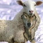 sheep-wolf-148x148