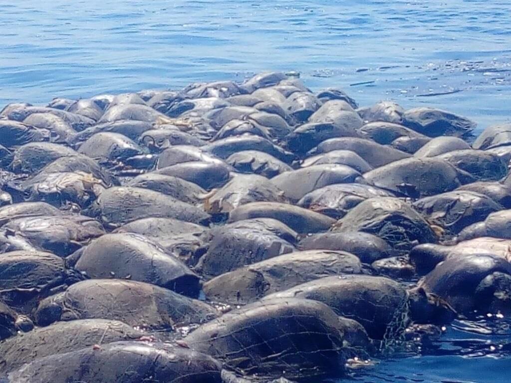 Al menos 200  tortugas murieron en Oaxaca.