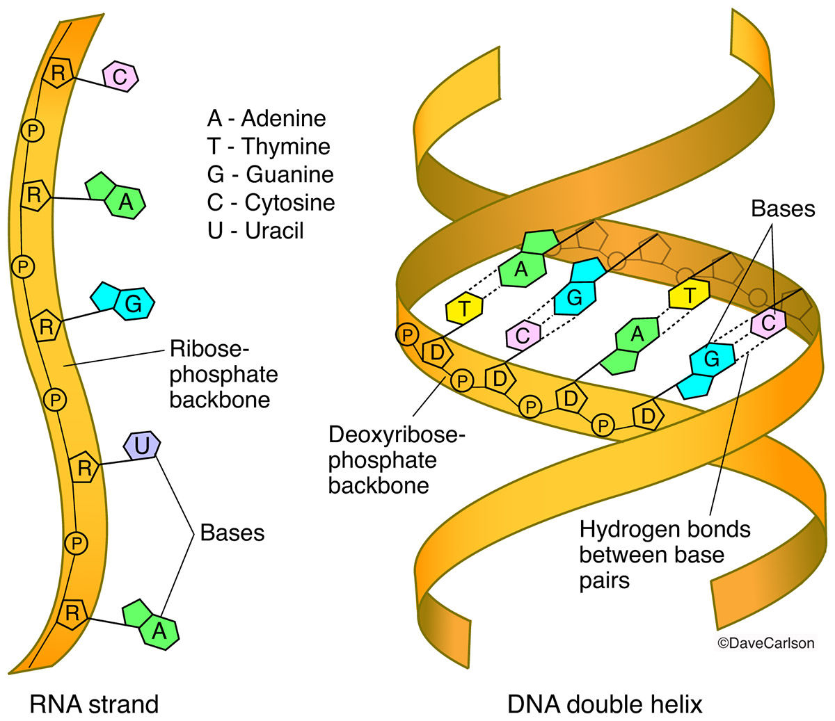 Rna Strand Structure Dna And Rna Structures 02 02