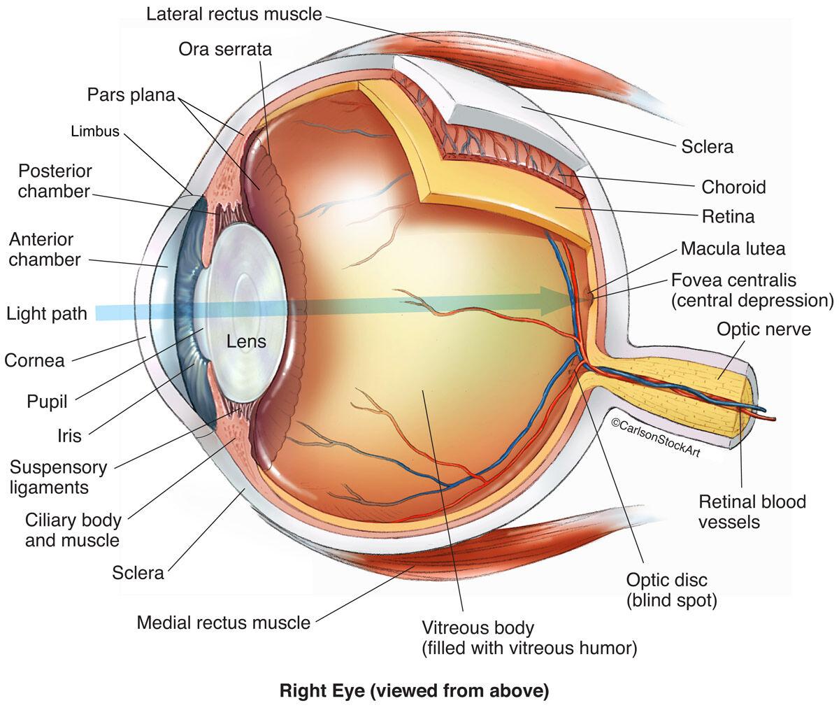 Eye Anatomy 1 Illustration