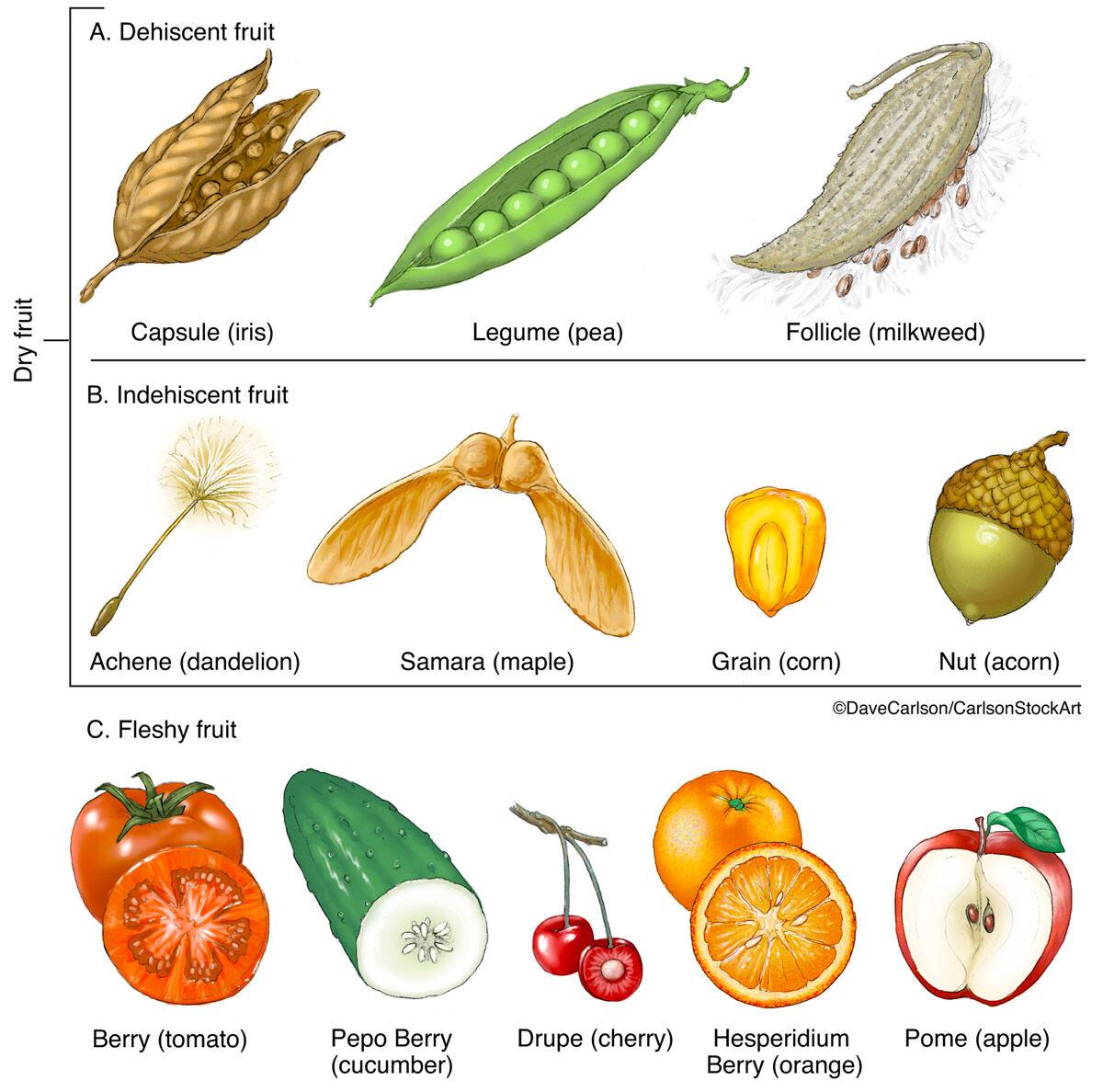 Fruit Types Carlson Stock Art