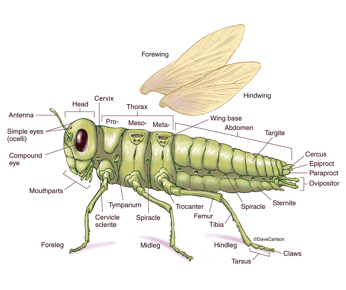 Generalized Insect