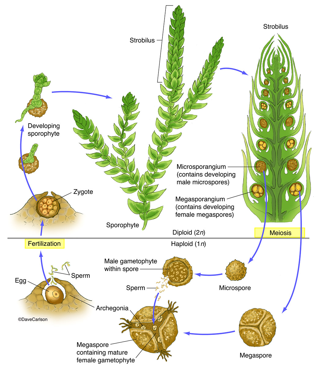 Spike Moss Selaginella Structure Amp Life Cycle