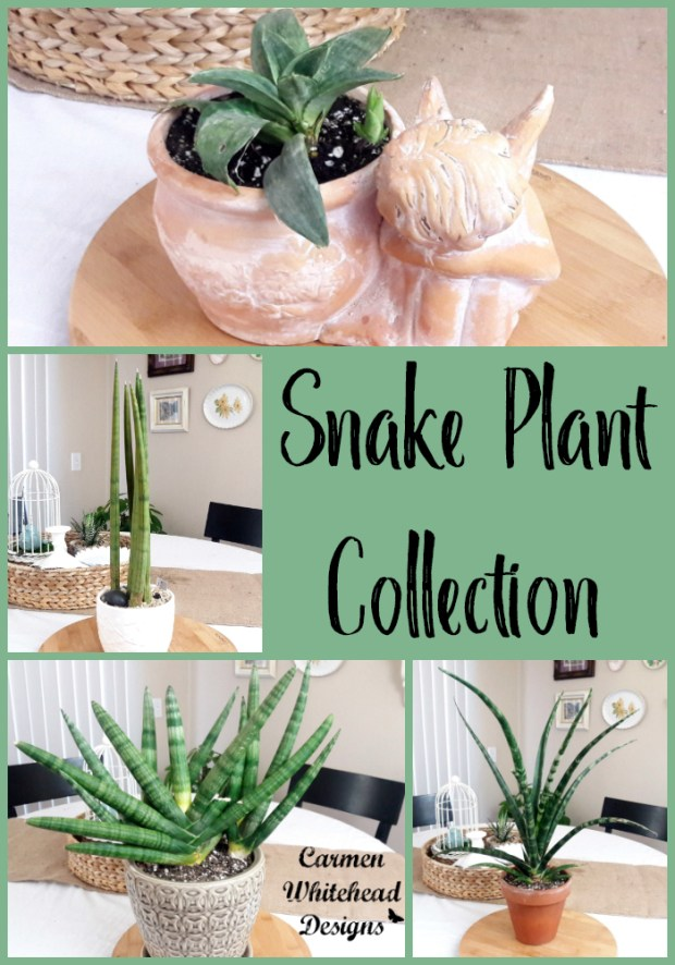 Snake Plant Collection and Plant Care - Carmen Whitehead Designs