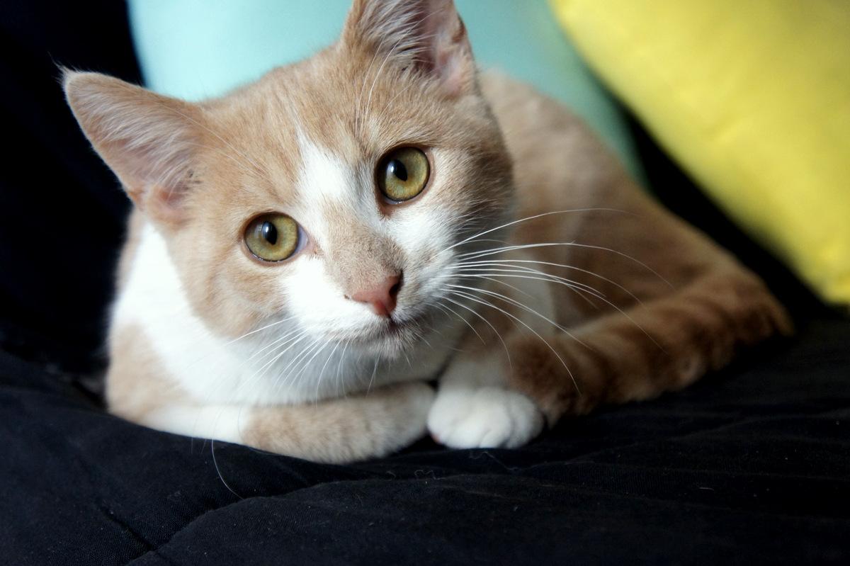 chat en surpoids comment gérer son alimentation et son poids
