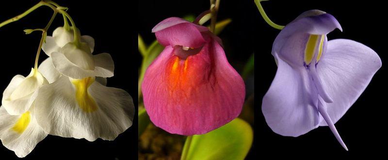 Flores de vejiga: Utricularia alpina, Utricularia quelchii, Utricularia reniformis.  Cortesía del ICPS.