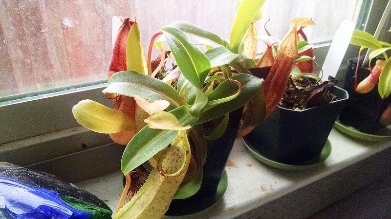 Nepenthes sanguinea, cultivada en el alféizar de una ventana por el cultivador de CP Devon Peterson.