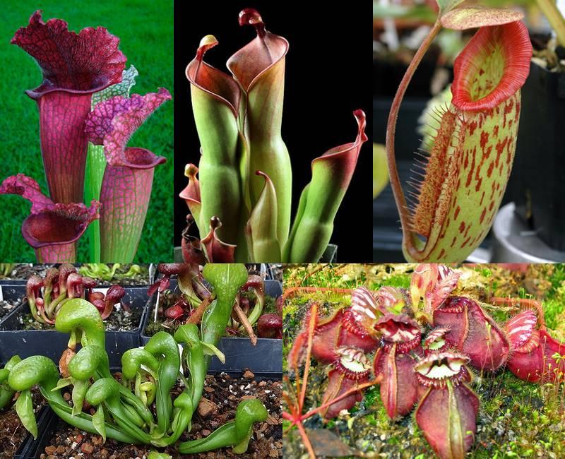 Las plantas de jarra, en el sentido de las agujas del reloj desde arriba a la izquierda: Sarracenia, Heliamphora, Nepenthes, Cephalotus, Darlingtonia.  Cortesía del ICPS.