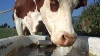 Cow drinking water - CARO finds antibiotics in watershed