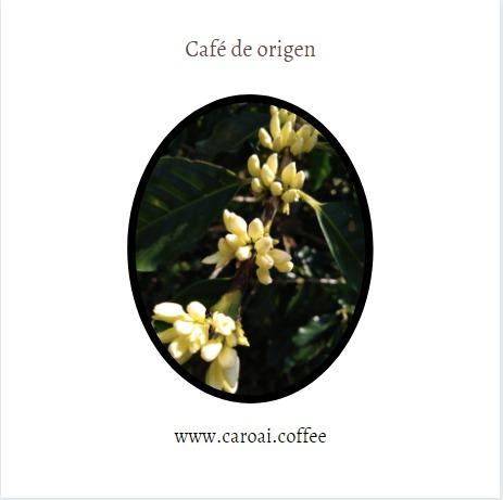 Flores de café en la finca Los Nonnos de Caroai Café.