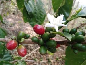Cerezas de café verdes y madura con flor - Turismo y café