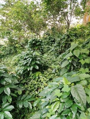 Cultivo de café - turismo y café