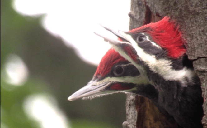 Two pileated woodpecker nestlings looking out of their nest a few days before they fledged