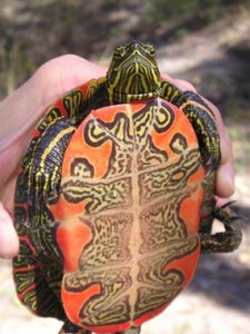 Belly of a painted turtle, which bears a beautiful design that gives the creature its name.