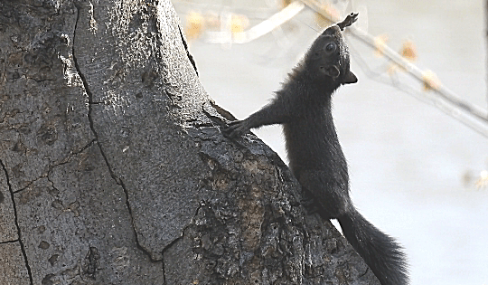 An eastern gray squirrel stretches as though to touch the sky