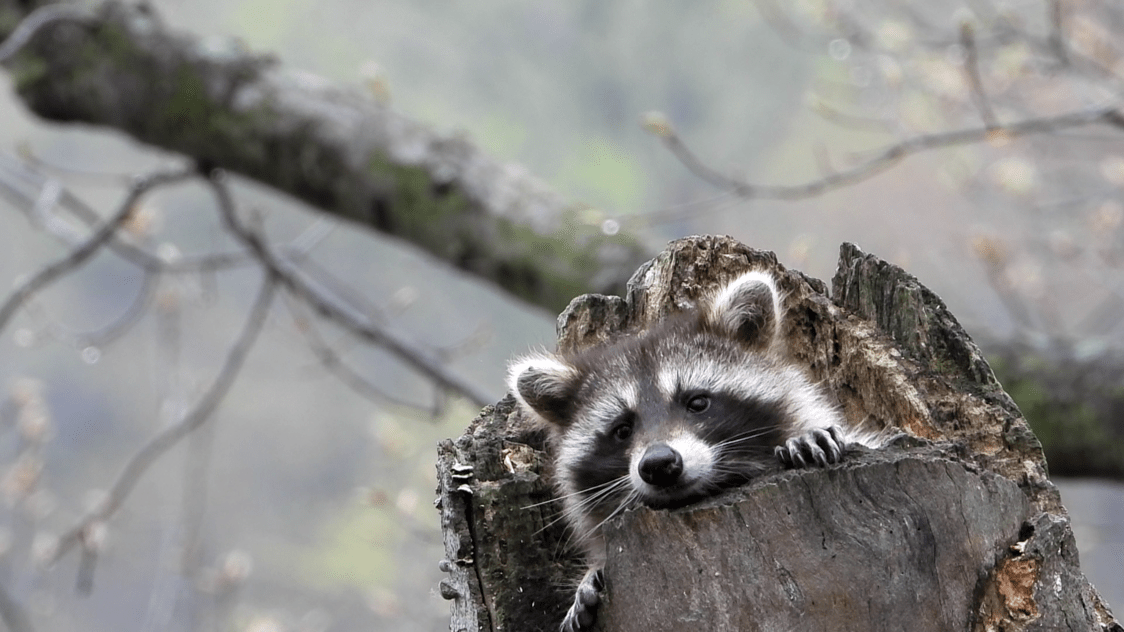 A raccoon peeks out of a snag's skylit cavity.