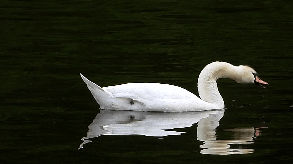 Mute Swan swims on calm water