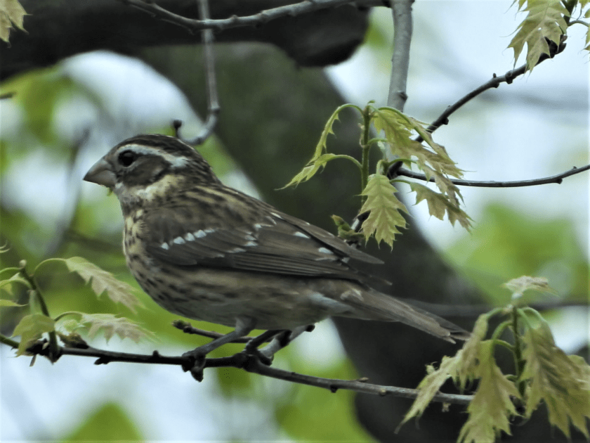 Female Rose-breasted Grosbeak perches on a branch.
