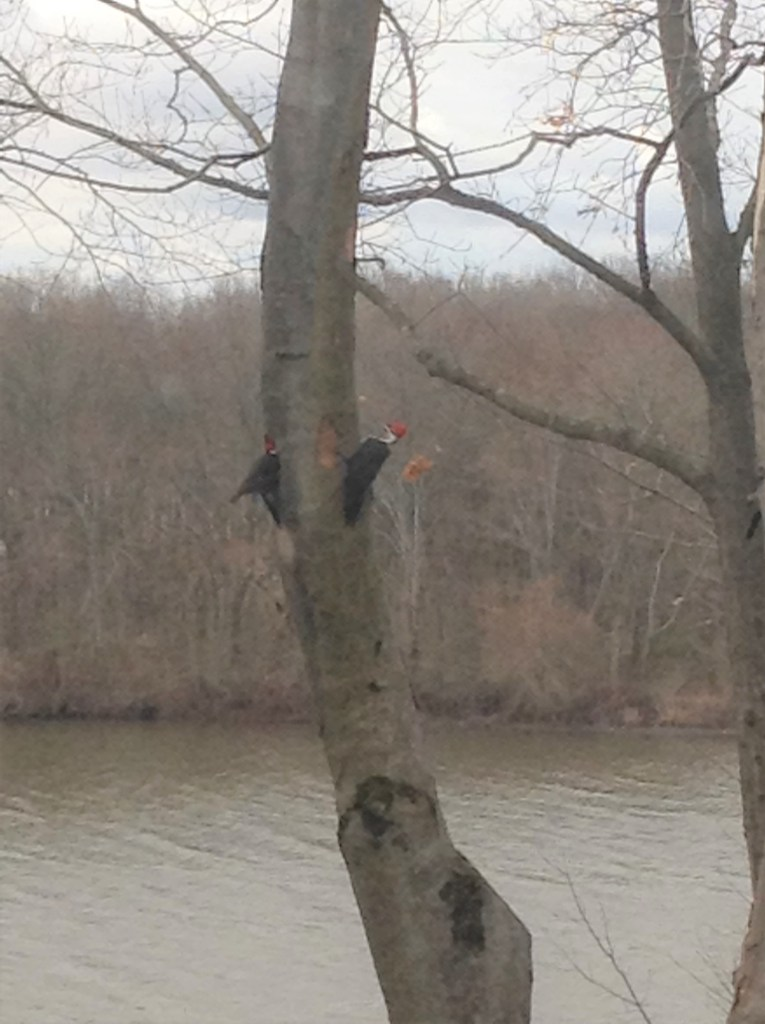 Pileated Woodpeckers on their nesting tree