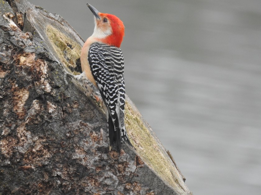 Red-bellied woodpecker on the cut surface of a tree