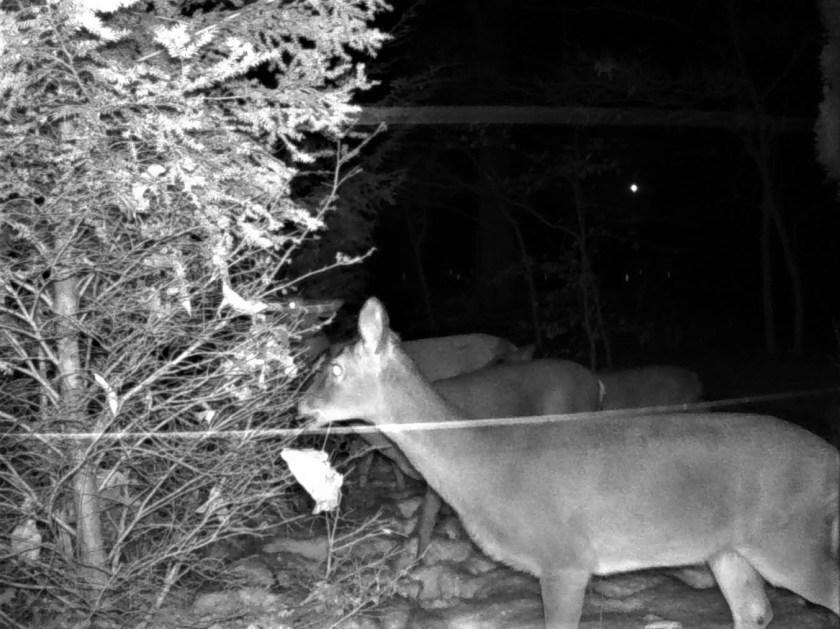 Deer browse hemlocks