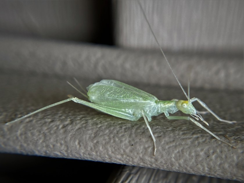 A narrow-winged tree cricket clings to the side of a house, her cerci visible.