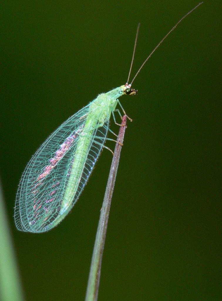 A green lacewing adult against a black background.