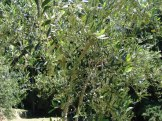 another_olive_tree