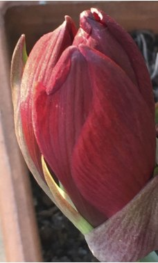 Even Nature is giving us spectacular colours to lift our spirits. Look at this Amaryllis bud, more vibrant than any Chanel lipstick!