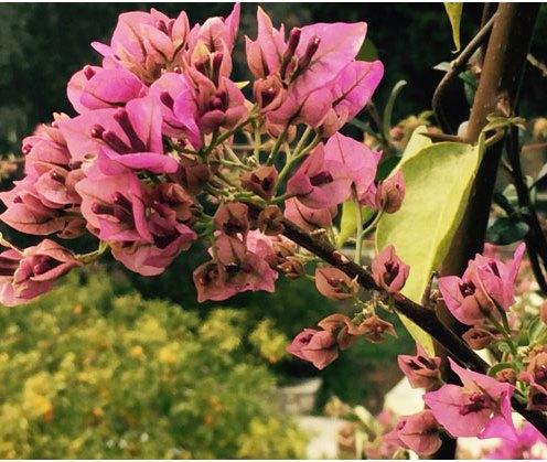 Winter bougainvillea in the garden