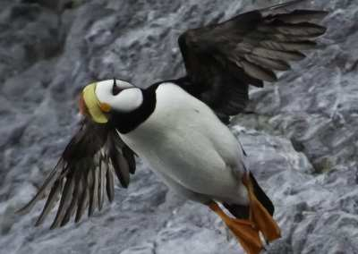 Horned puffin in Siberia