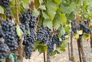 grape-arbor