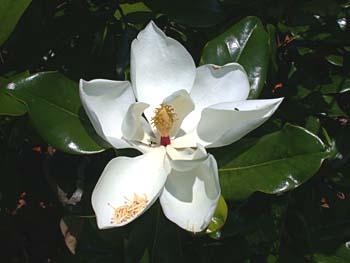 Southern Magnolia (Magnolia grandiflora) flower