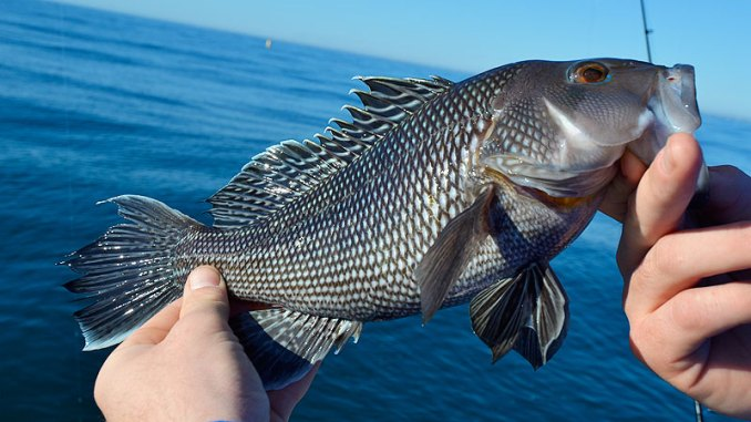 Big black sea bass invade the reefs and hardbottoms off Little River Inlet once cold weather arrives along the Carolina coast.