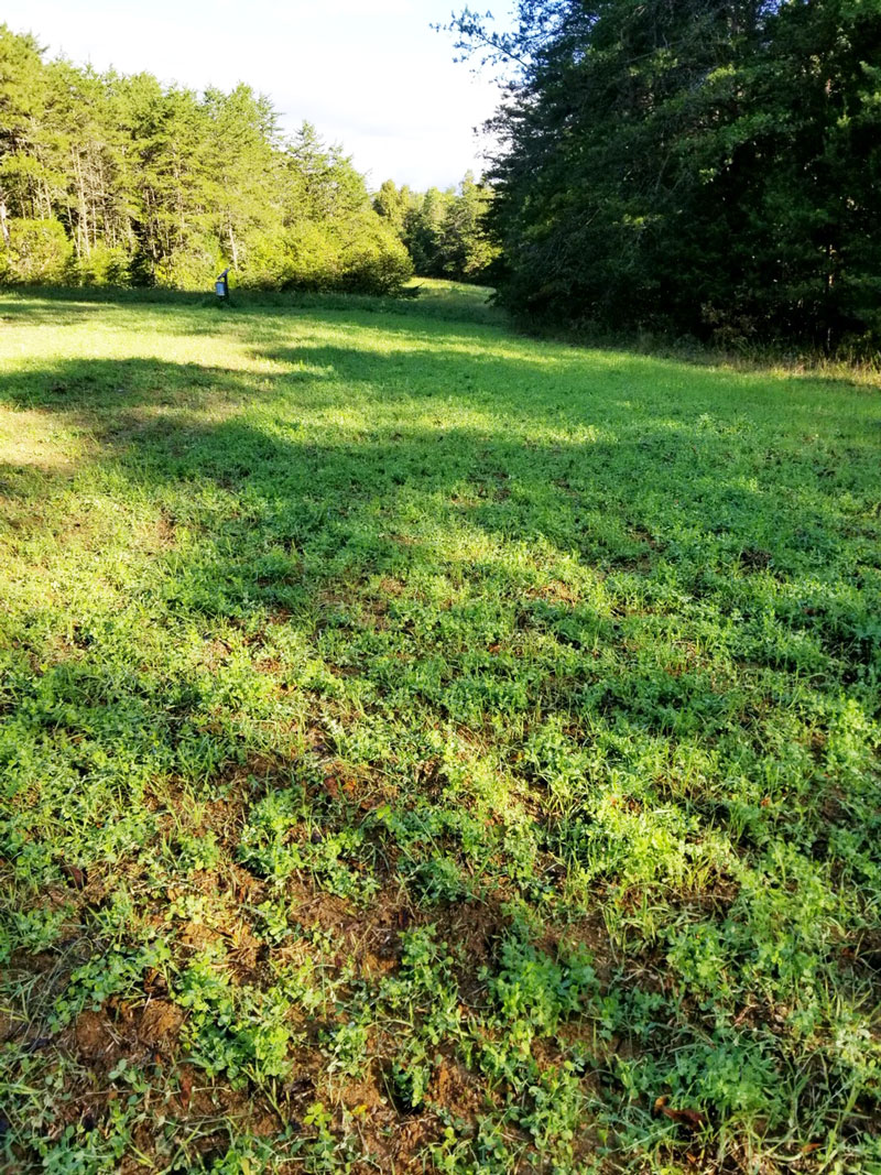Iron clay cowpeas are a drought-resistant forage plant that's perfect for late-spring and summer food plots in the Carolinas, in part because of high protein content.