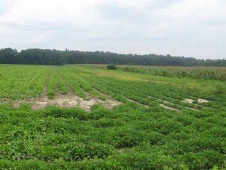 Where does your deer herd spend the summer? Ride around in May and see what's planted in agricultural fields in your area, like these soybeans