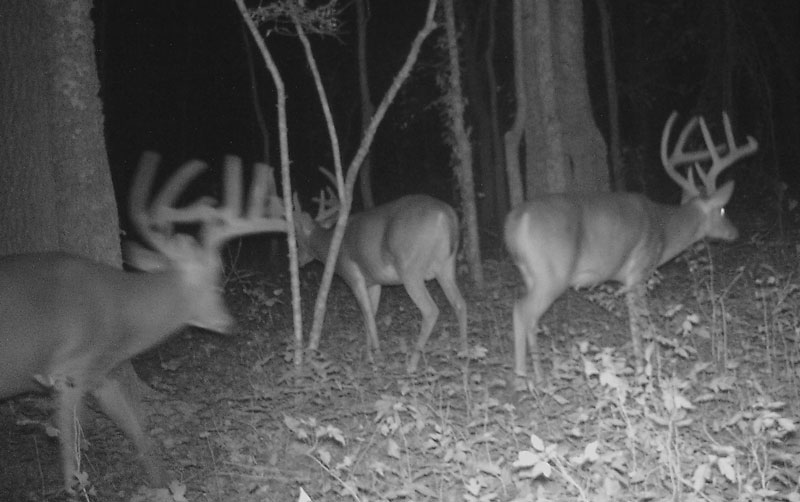 A blackout camera never alerted any of these bucks, and they returned often to feed.