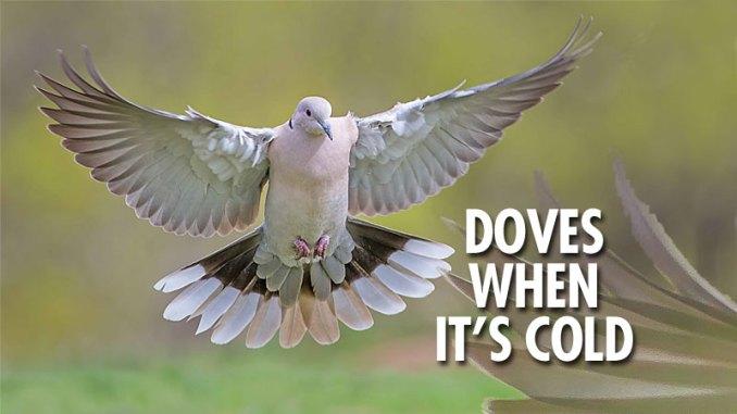 Carolina doves