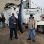 giant bluefin