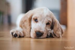 English Cocker Spaniel Puppy - Milo