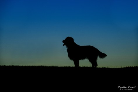 Flat-coated Retriever - Leo - Silhouette