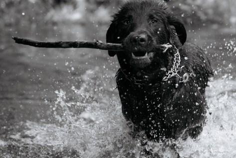 Flat-coated Retriever - Leo in the water