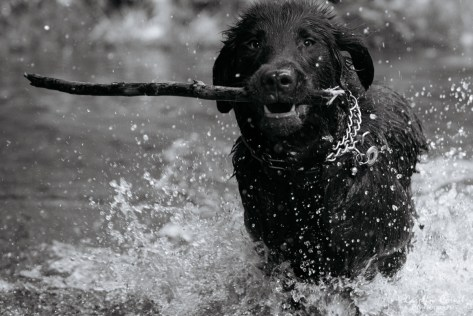 Flat-coated Retriever - Leo in the water