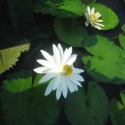 Lotus Flower Song Lyrics Gardening Flower And Vegetables